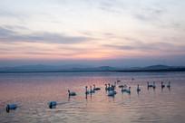 湖中成群的越冬天鹅