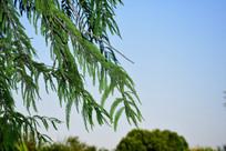 绿色的杉树枝叶摄影图