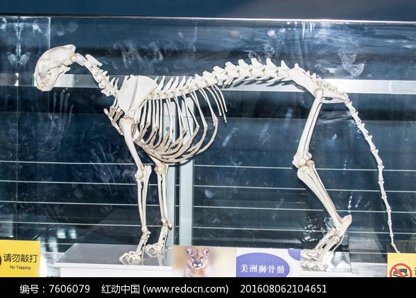 美洲狮骨骼图片,高清大图