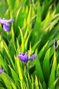漂亮的鸢尾花