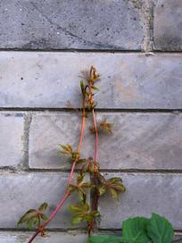青砖墙上的嫩芽图片