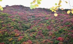 山坡上的树木-秋季红叶景观