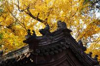 屋檐与银杏树