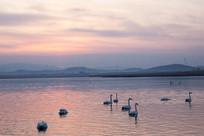 夕阳下湖中的天鹅