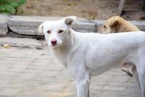 白色的农家土狗图片
