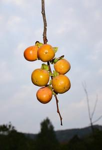 成串的柿子果实