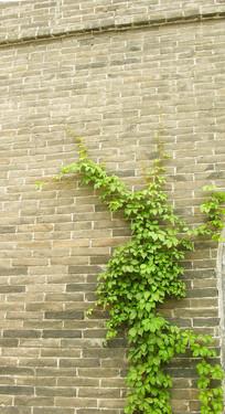 古旧砖墙上的爬山虎