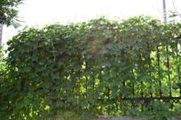 爬满围栏绿色植物