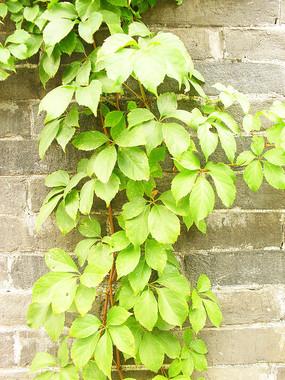 爬山虎的绿色叶子