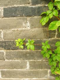 青砖墙上的绿叶图片