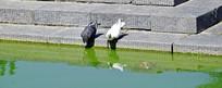 水池边上的鸽子