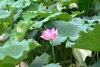 一朵盛开的莲花
