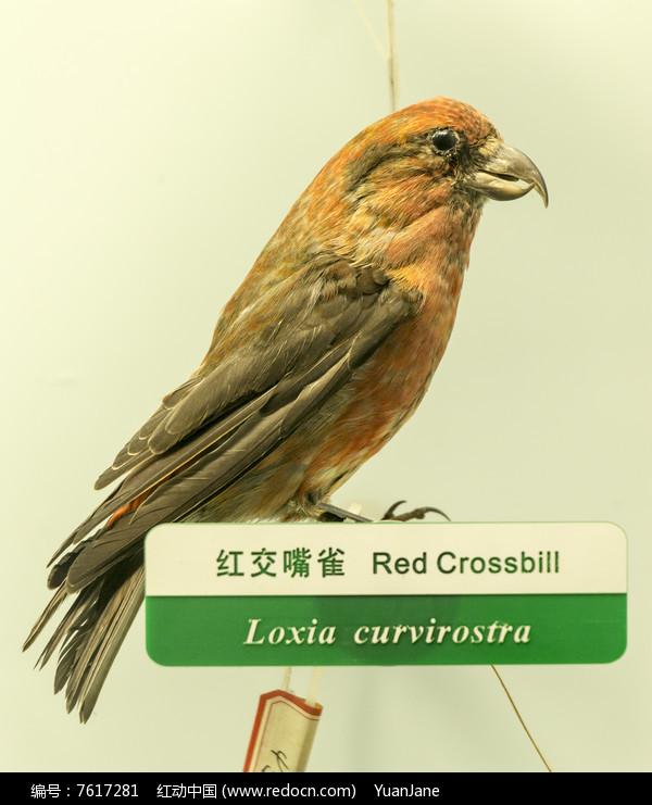 红交嘴雀图片,高清大图_空中动物素材