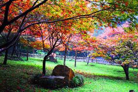 绿草坪上的秋枫红叶