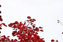 长寿山红叶景观摄影