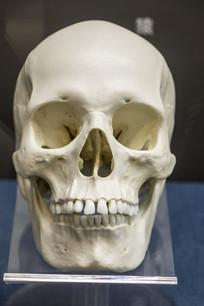 欧洲女性头骨