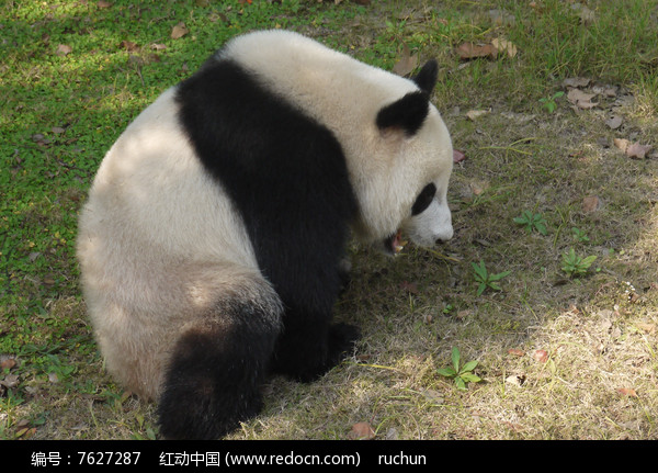 壁纸 大熊猫 动物 600_431
