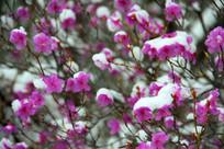 春季落雪的杜鹃花