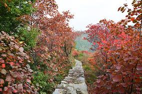 黄栌树秋季景观图