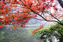 湖面上的红色枫叶