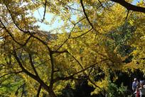 金黄色的银杏叶