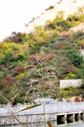 水边生长的芦苇