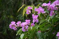 树上盛开的紫色小花图片