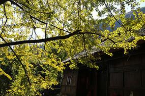 银杏树下的小木屋