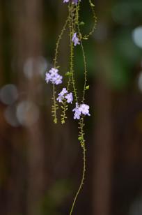 紫色小花花卉图片