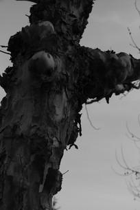 黑白梧桐树斑驳老树摄影背景素材