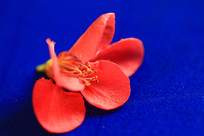 蓝背景花瓣
