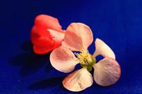 蓝色背景海棠花瓣