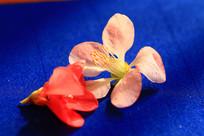 两朵海棠花瓣