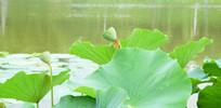 绿色的莲蓬高清图片