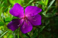 紫色小花与水珠
