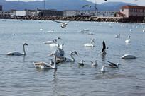 大海里的天鹅和海鸥