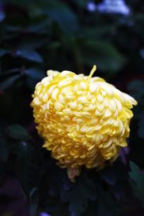 大头黄菊花