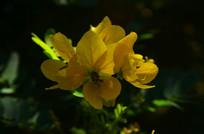 黄色小花特写图片