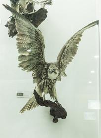 猎隼鹰标本
