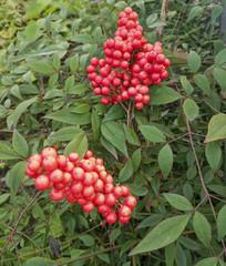 绿叶红果图