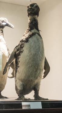 麦氏王企鹅