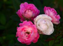 一束玫瑰花特写图片