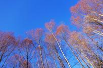 红柳树林风景