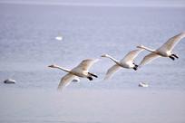 空中飞翔的白天鹅
