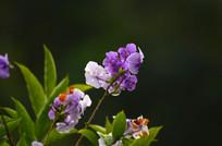 美丽的紫色小花特写图片