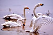 天鹅正在湖里游动展翅