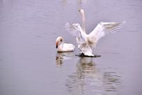 一只白天鹅正在向另一只展翅