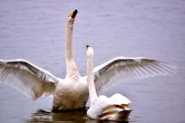 展翅仰视的白天鹅
