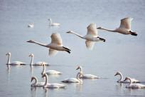 正在空中飞翔的白天鹅