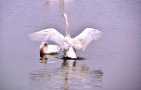 正在展翅的一只白天鹅